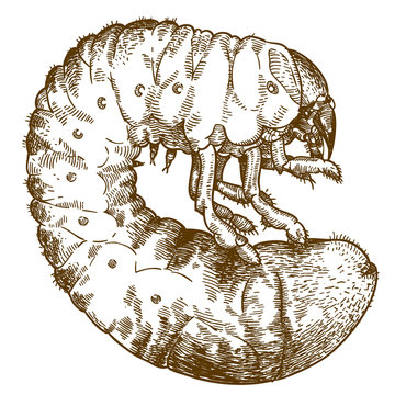 engraving drawing illustration of may beetle larve