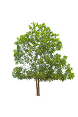 Trees isolated on white background, with clipping path. isolated trees used for design,