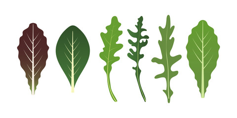Mix of salad leaves. Arugula, spinach and lettuce leaf. Vector illustration set in flat style.