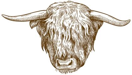 engraving  illustration of highland cattle head