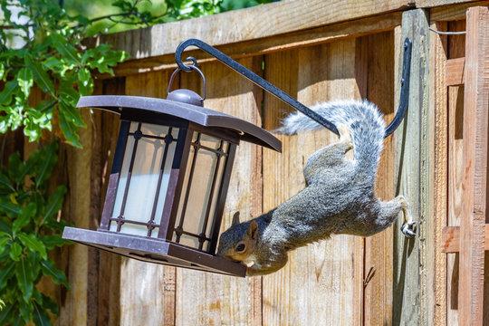 Determined Acrobatic Squirrel Stealing Seed From The Bird Feeder