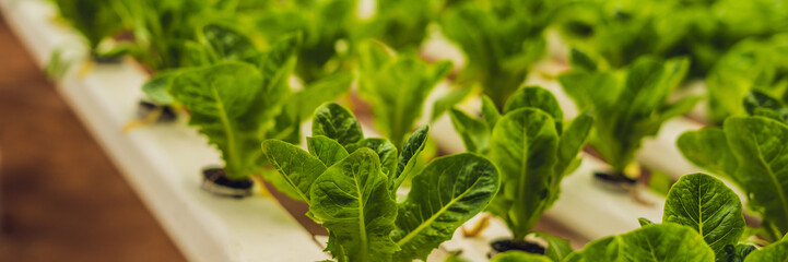 Hydroponic vegetables salad farm. Hydroponics method of growing plants vegetables salad farm, in water, without soil. Hydroponic lettuces in hydroponic pipe BANNER long format