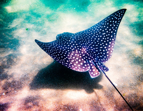 Spotted Eagle Ray in ocean