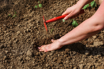 Detail on woman hand, digging hole with small grub hoe to plant seedlings in garden.