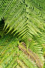 Grüner Weicher Baumfarn (Dicksonia antarctica) im Sonnenlicht.