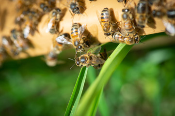 Close up view of the working bees on honey cells, Fresh honey in comb and working bees.