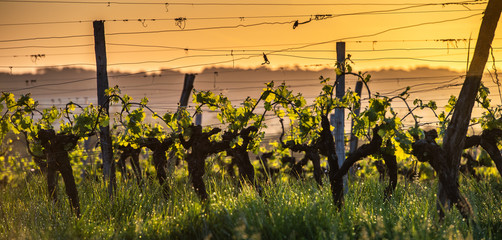 Foto auf Leinwand Weinberg Young branch with sunlights in Bordeaux vineyards