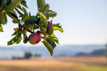 Apfelbaum an einem Kornfeld