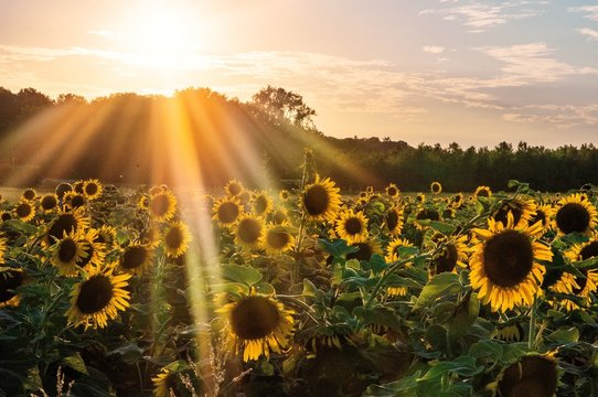 Rays of sunlight over sunflower field at sunset with treeline in background