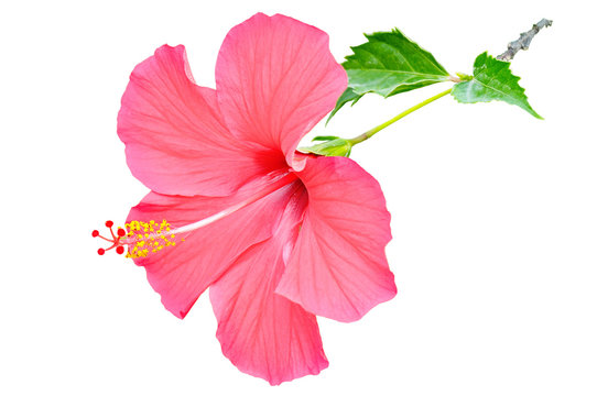 Red hibiscus flower isolated on white background.