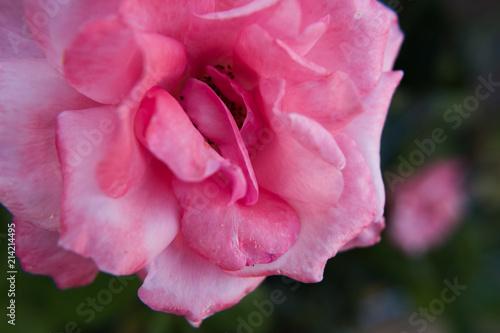 Pink rose flower wallpaper background beautiful image of nature no pink rose flower wallpaper background beautiful image of nature no people mightylinksfo