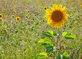 Bunter Blühstreifen mit Sonnenblumen
