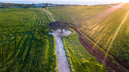 Garden Poster Cyprus aerial view of green agricultural field with tire tracks and lonely tree on sunset, Cyprus