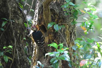 奄美大島の野鳥 オーストンオオアカゲラ