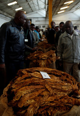 Buyers bid for bails of cured tobacco at Tobacco Sales Floor (TSF) in Harare