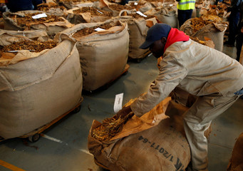 A worker opens bails of cured tobacco at Tobacco Sales Floor (TSF) in Harare