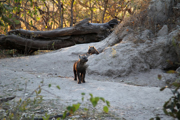 The truly unique and endangered wild dog pubs of Africa seen here in the wild in Botswana