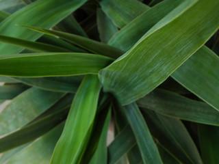 Yucca Plant Leaves - Macro