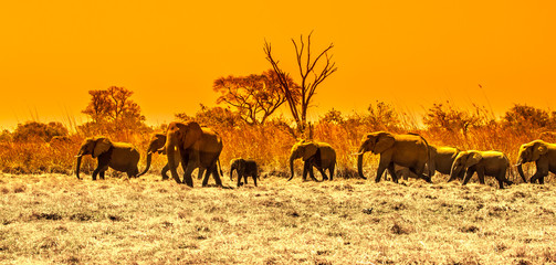 Herd of african elephants at waterhole. Chobe National Park, Okavango Region, Botswana, Africa. Panoramic image.