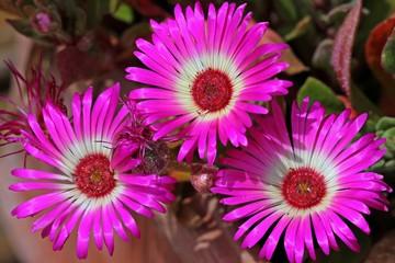Blühende Mittagsblume (Dorotheanthus bellidiformis)  in pink