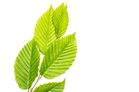 One whole fresh green plant elm branch with fresh rib leaves flatlay isolated on white