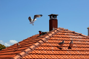 A family of gulls on the roof of the house. Old city. Seagull in flight. Chicks.