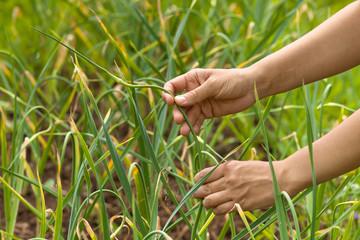hands picking garlic scape in the garden