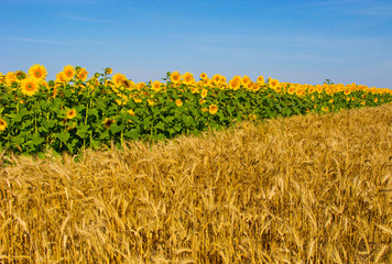 A field full of spikelets against the background of a large number of huge sunflowers