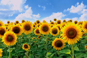 A beautiful picture of a field with bright yellow dark sunflowers with green leaves against a blue sky with rare clouds.