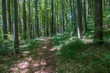 The path is trodden by tourists in the forest with perfectly even, dense trees