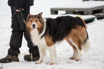 portrait of Border Collie dog on a walk in belgium
