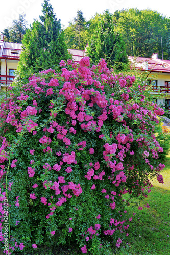 A magnificent bush of beautiful pink flowers with small petals a magnificent bush of beautiful pink flowers with small petals growing on a green lawn mightylinksfo