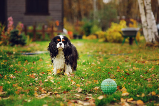happy cavalier king charles spaniel dog playing with toy ball in autumn garden