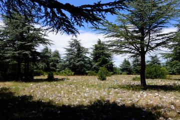 Foret de cèdres, Luberon