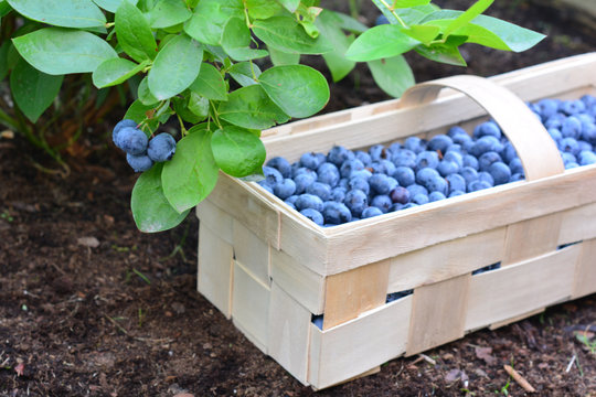 Freshly picked bilberries in a wooden basket put on a peat soil under the bush