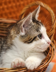white with a gray kitten in a wicker basket