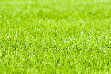 A green grassy lawn. Background.