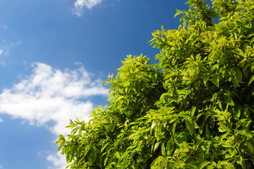 Branch of young solar green leaves on a background of foliage and blue sky. Orange tree