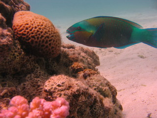 view of the corals and parrotfish in the Red Sea