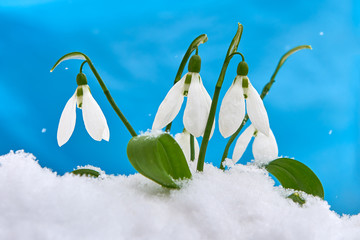 Snowdrop- spring white flower on blue background with place for text, Close up with selective focus and snowflakes