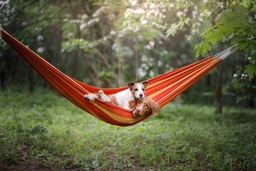 pet in a hammock on vacation. Two dogs on vacation. Nova Scotia Duck Tolling Retriever and a Jack Russell Terrier