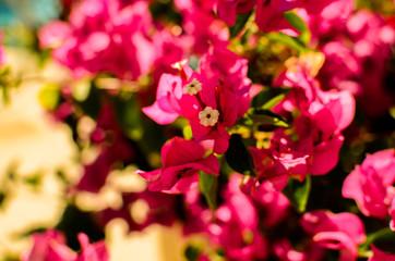Flor de la Veranera