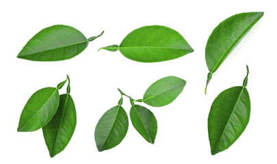 set of lemon green leaf isolated on white background Wall mural