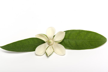 White magnolia flower on isolated background.
