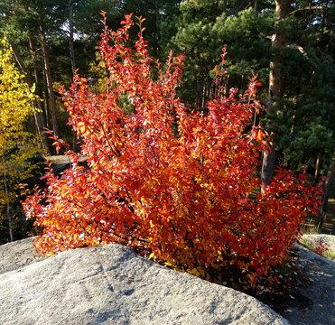Autumn red bush of serviceberry