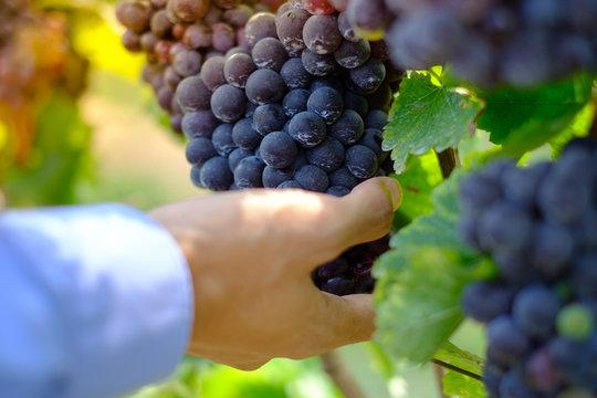 Farmers hand holding freshly Shiraz grapes, Vineyards in autumn harvest