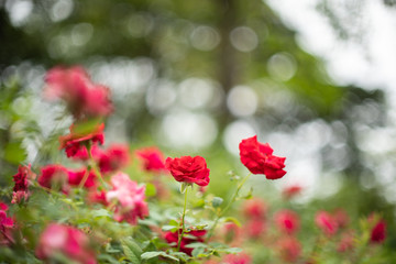 Beautiful red roses in garden with bokeh, roses for Valentine day and everyday.