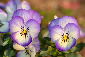 Foto op Canvas Pansies Purple pansy flowers in the garden