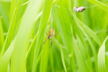 Spider and prey on a grass background.