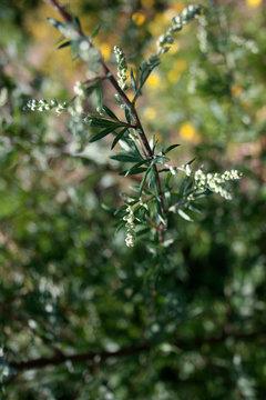 Gemeiner Beifuß - artemisia vulgaris